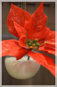 Poinsettia, étoile dans la neige... dans Et Noel arriva... dsc_05981-198x300